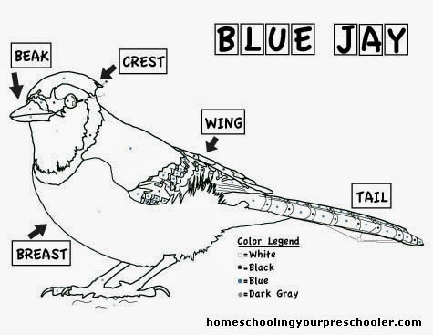 Blue Jay Coloring Sheet Tree Valley Academy