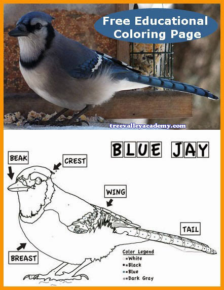 An educational Blue Jay coloring worksheet for kids. Free printable.