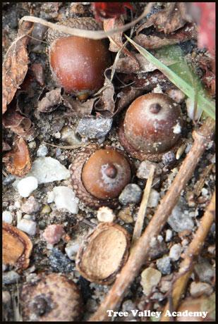 acorns on the ground
