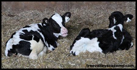 baby calves lying in hay