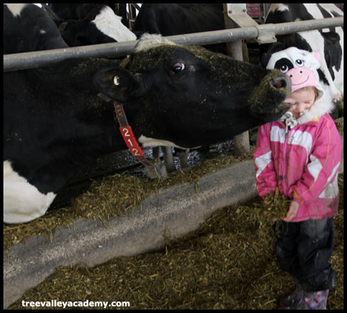 A cow licking a child.