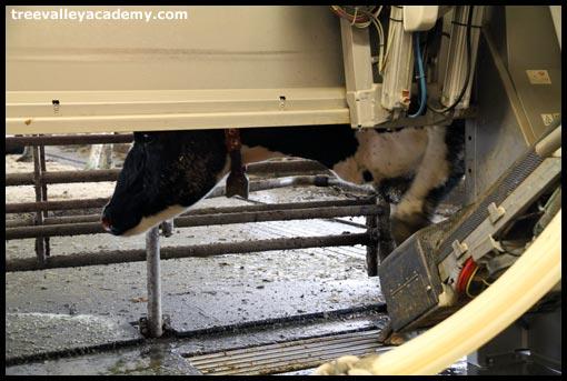 cow walking through milking robot