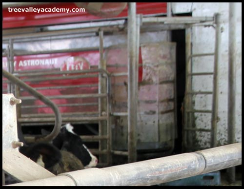 milking robot for dairy cows