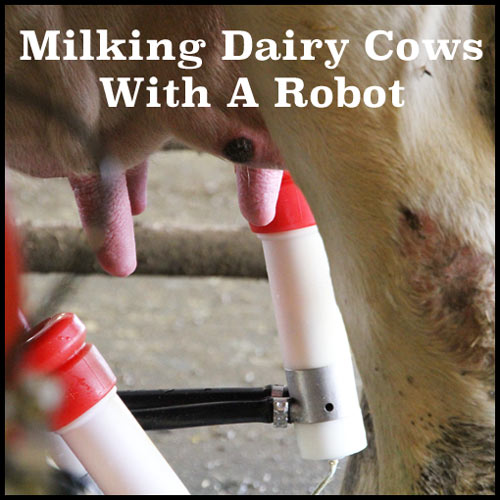 Milking Dairy Cows With A Robot