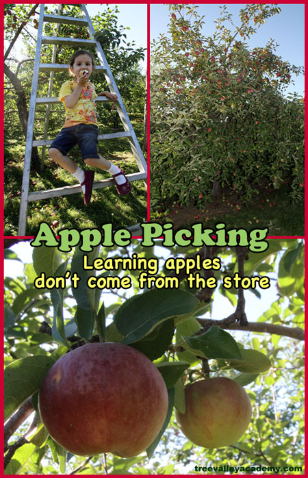 Apple picking homeschooling field trip.  Learning that apples don't come from the store. Field trip to an apple orchard.  A fun apple activity. #appleunit #apples #appleorchard #fall #homeschool #appletheme #appleactivity #kindergarten #activities #treevalleyacademy