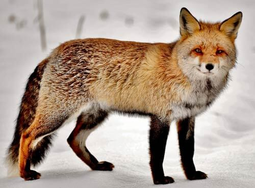 a fox on a snowy background.  We're going to use this image to create geometric fox art.